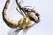 Migrant hawkers (Aeshna mixta) mating. Surrey, UK.