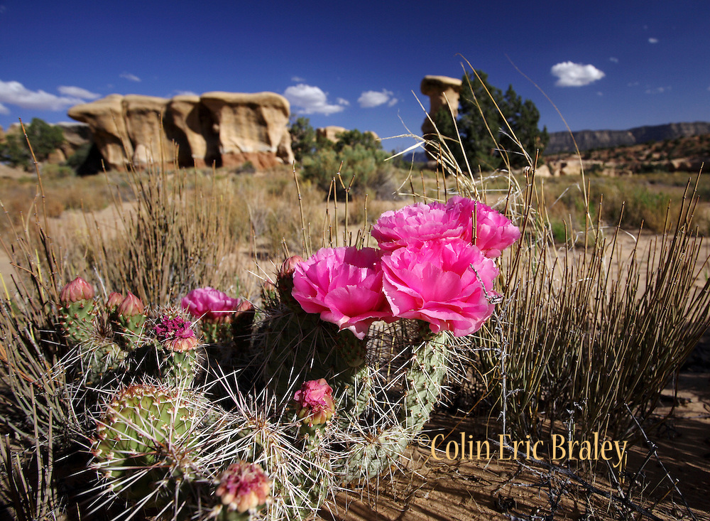 Blue skies and a blooming cactus flower are a frequent sight during the spring at the BLM land known as Devils Garden in southern Utah. Colin Braley / Wild West Stock