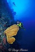 diver and sea fan or gorgonian soft coral, Subergorgia mollis, Palau, Micronesia ( Western Pacific Ocean ) MR 136