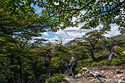 """Forested trail to Laguna Torre. El Chalten, Argentina, Patagonia, South America. We hiked 21 km (13 miles) round trip with 730 m (2400 ft) cumulative gain to Laguna Torre and Mirador Maestri to see Cerro Torre and other peaks. El Chalten mountain resort is in Santa Cruz Province, Argentina, Patagonia, South America. The village is settled on the riverside of Rio de las Vueltas, within Los Glaciares National Park near the base of Cerro Fitz Roy (3405 m or 11,171 ft elevation), at the edge of the Southern Patagonian Ice Field. The town is 220 km north of El Calafate. Chaltén comes from a Tehuelche word meaning """"smoking mountain"""", due to clouds that usually form over Monte Fitz Roy. Los Glaciares National Park and Reserve are honored on UNESCO's World Heritage List."""