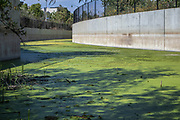 Algae bloom in flood channel next to Silicon Beach in the Ballona Wetlands, Playa Vista, California, USA