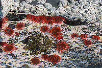 Plum-red anenome's in a tidal rock pool, Natures Valley, Western Cape, South Africa