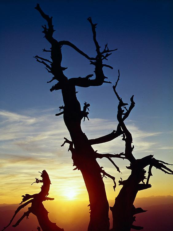 Brstlecone pine, sunset, Telescope Peak, Death Valley National Park, California, USA