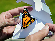 April 17 2014 - Karyl Buddington, Director of Animal Care, releases a monarch butterfly during the Earth Day celebration at the Tigrus Garden on the University of Memphis campus. This was the fifth time the event has been held. (William DeShazer/The Commercial Appeal)