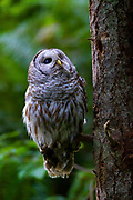 A barred owl (Strix varia) looks up from its perch in dense forest in Edmonds, Washington. Barred owls feed mainly on small mammals, but will also prey upon other birds, reptiles, invertibrates and amphibians if the opportunity presents itself.