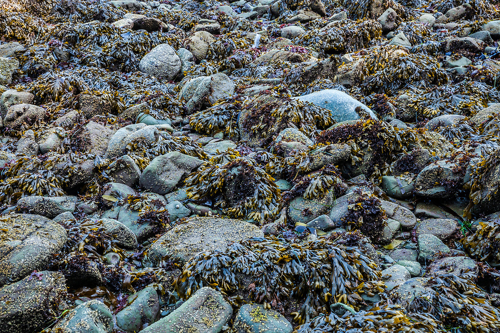 Seaweed bed detail on the Pacific Coast of the Olympic Penninsula of Washington State, USA.