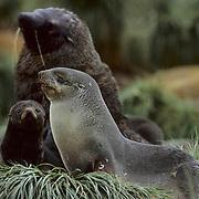 South Georgia Fur Seal, (Arctocephalus tropicalis gazella) Family. South Georgia Island.