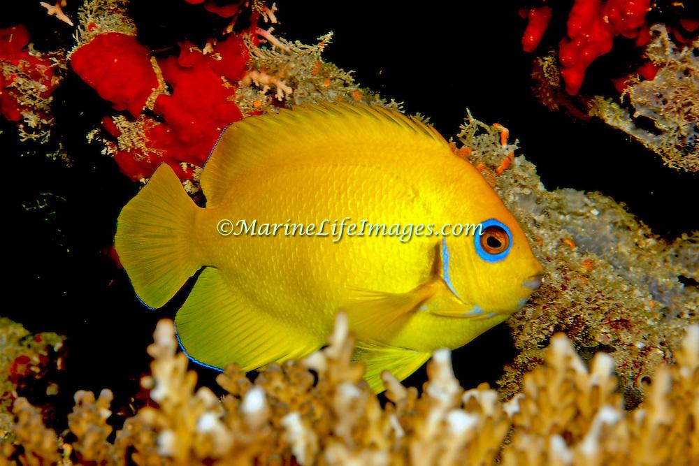 Lemonpeel Angelfish inhabit reefs. Picture taken Fiji