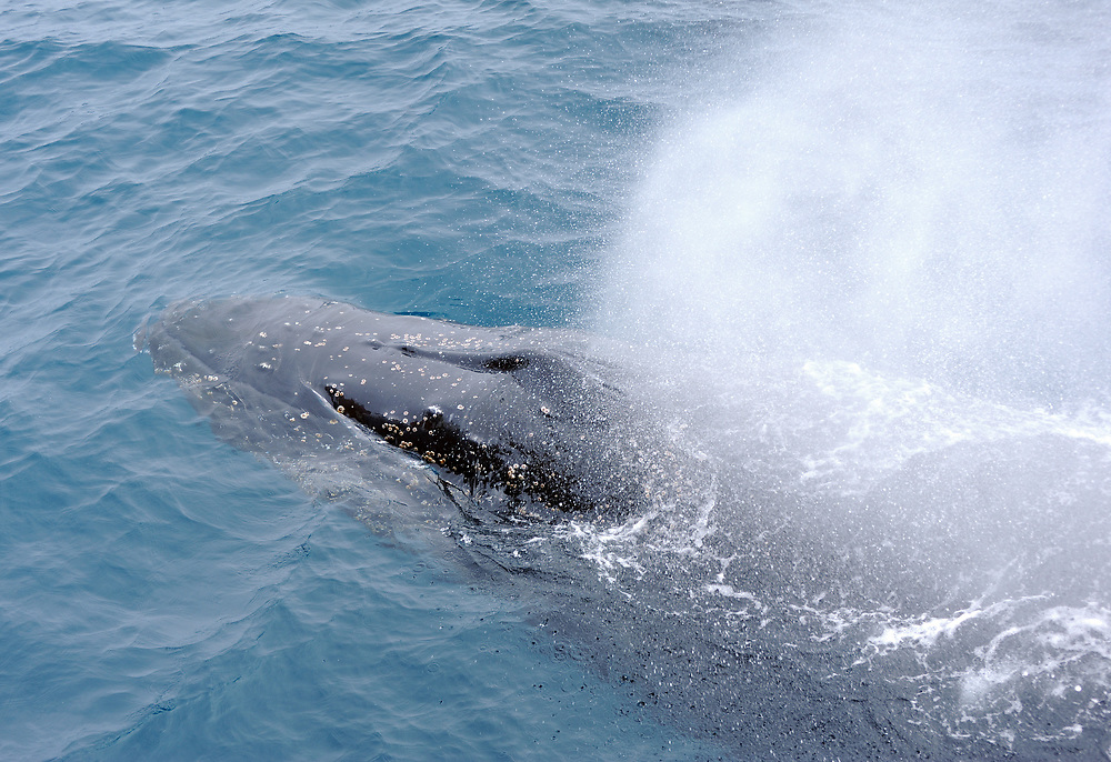 A Humpback whale (Megaptera novaeangliae) blows South Sandwich Islands, Southern Ocean. 26Feb16