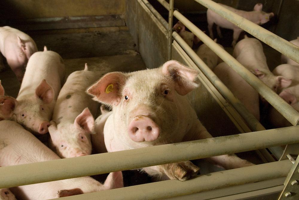 Nederland, Nijmgen, 02 april 2008.Varkenshouderij. Gangbaar bio-industrie bedrijf met varkens . Jonge biggen die vrolijk de camera inkijken..Foto (c) Michiel Wijnbergh