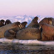 Walrus, (Odobenus rosmarus) Mother and babies in waters off Baffin Island. Canada .