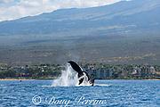 humpback whale, Megaptera novaeangliae, peduncle throw or tail breach, Kihei, Maui, Hawaii, Hawaii Humpback Whale National Marine Sanctuary, USA ( Central Pacific Ocean )