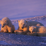 Polar Bear mother and cubs. Hudson Bay, Canada