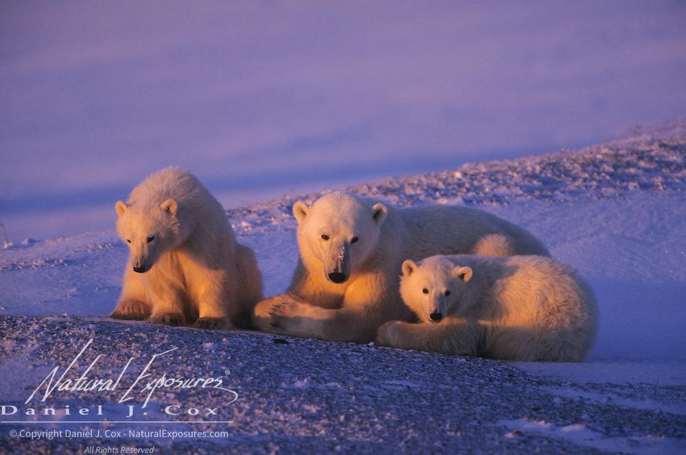 Polar Bear mother and cubs. Hudson Bay, Canada