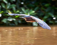 Green Heron (Butorides virescens). Semester at Sea Field Trip. Limon, Costa Rica. Image taken with a Nikon D3s camera and 70-300 mm VR lens