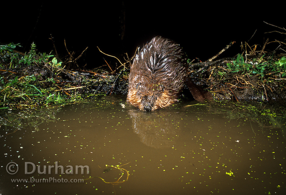 An american beaver (Castor canadensis) enters the water fromn its dam in the Mount Hood National Forest, Oregon. Photographed at night with a motion sensing camera.