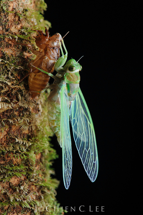 Under the cover of darkness, a cicada sheds its nymphal skin to emerge as a fully grown adult.  Sarawak, Malaysia (Borneo).