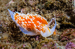 Horned Aeolid Nudibranch, Hermissenda crassicornis, Santa Barbara Island, California, Pacific Ocean