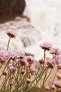Thrift - aka Sea Pink - flowers on the cliffs above crashing waves at Tilly Whim on the Isle of Purbeck, Dorset, UK.