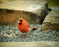 Male Northern Cardinal. Image taken with a Nikon D4 camera and 600 mm f/4 VR lens (ISO 280, 600 mm, f/4, 1/200 sec).