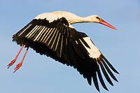 White stork (Ciconia Ciconia) flying, Pont du Gau, Camargue, France