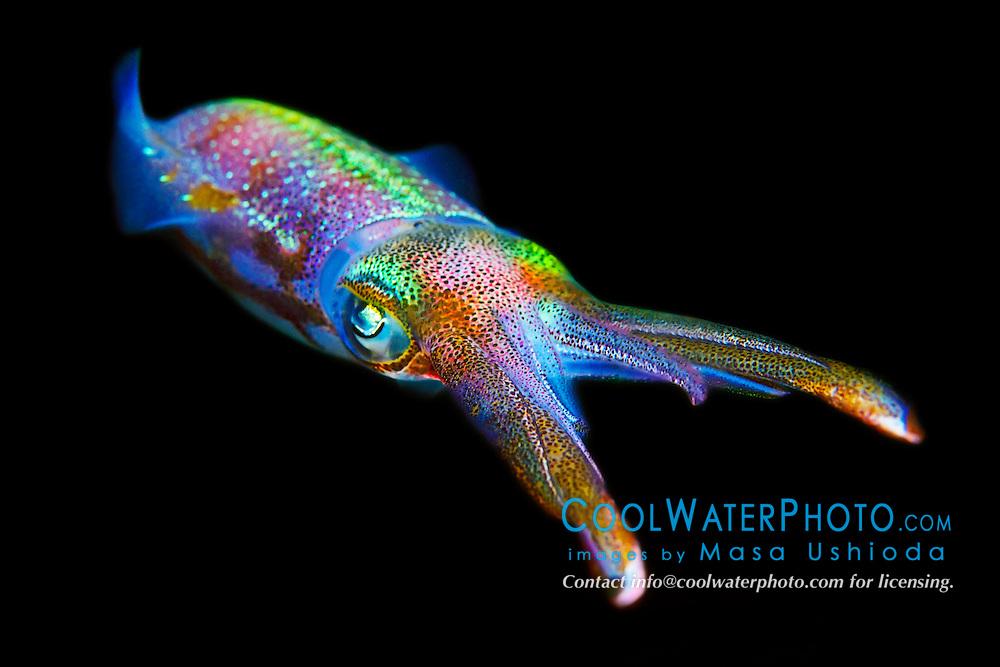 Caribbean reef squid, Sepioteuthis sepioidea, hunting at night, Key Largo, Florida Keys National Marine Sanctuary, USA, Caribbean Sea, Atlantic Ocean