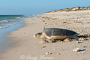 Australian flatback sea turtle (Natator depressus), endemic to Australia and southern New Guinea, female returning to sea after nesting, Western Australia ( Indian Ocean )