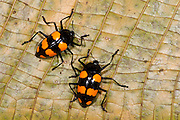 Fungus Beetle (fam. Erotylidae)<br /> Yasuni National Park, Amazon Rainforest<br /> ECUADOR. South America<br /> HABITAT & RANGE: