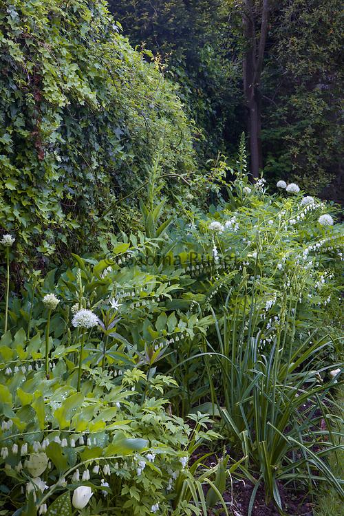 Polygonatum, white Dicentra and Allium 'Mount Everest' - White Border, Shute House, Donhead St Mary, Wiltshire