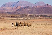 A family parade of desert-adapted elephants (Loxodonta africana) slowly walking through the desert toward a water hole, Skeleton Coast, Namibia,Africa
