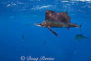 released Atlantic sailfish, Istiophorus albicans, showing injuries from fish hook and line, and handling, is swimming normally and hunting sardines off Yucatan Peninsula, Mexico ( Caribbean Sea )