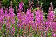 Flowerheads of rosebay willow herb in hedgerow, Devon, U.K.
