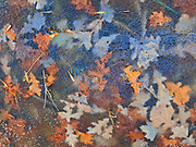 Autumn leaves frozen in ice along a trail in the Seine River Forest<br />