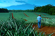Pineapple farmer inspects pineapple plants.  The plants blanket the land around the province of Sarapiqui and roll toward the very active Poas Volcano.  Costa Rica is one of the worlds largest exporters of pineapples.