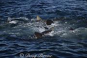 bronze whalers, or copper sharks, Carcharhinus brachyurus, in feeding frenzy, compete for the last remaining fish in a baitball of sardines, Sardinops sagax,  Sardine Run, Transkei, South Africa ( Indian Ocean )