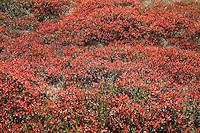 Brillant red fall foliage, Strathcona Park, Vancouver Island BC