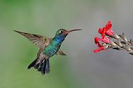 Broad-billed Hummingbird - Cynanthus latirostris - Adult male