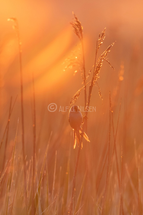 Bearded reedling (Panurus biarmicus, female) in early morning light. Photo from Vejlerne, northern Denmark in June.