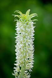Eucomis aloha 'Maui' - Dwarf pineapple lily