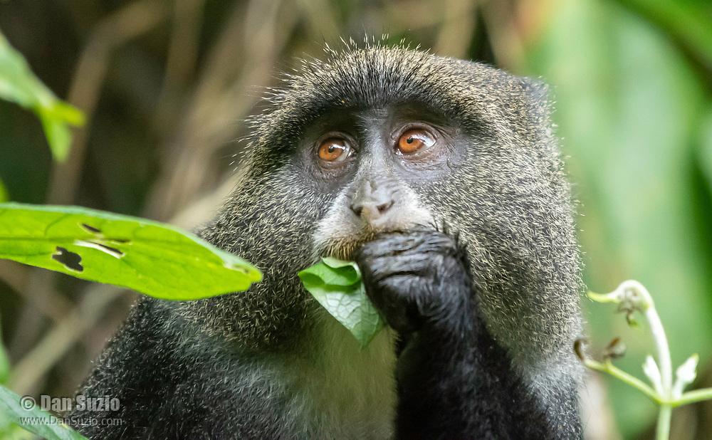 Blue Monkey, Cercopithecus mitis, eating leaves in Arusha National Park, Tanzania