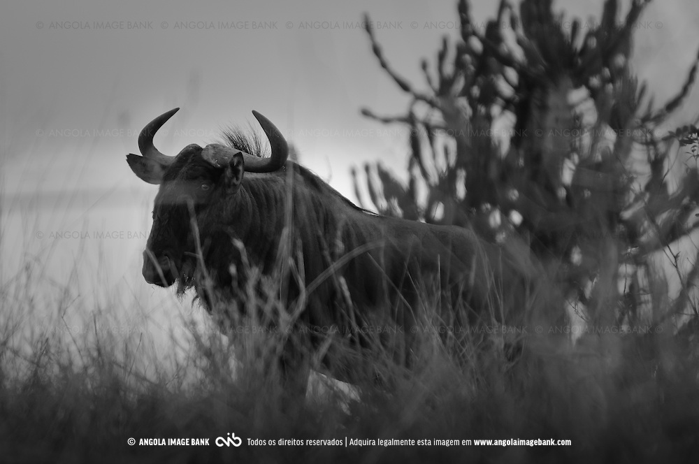 Boi Cavalo (Eng.: Wildebeest / Lat.: Connochaetes sp.) no Parque Nacional da Kissama. Província do Bengo, Angola