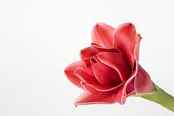 Red Ginger Flower, Etlingera elatior#4