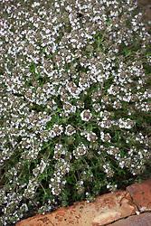 Thymus x citriodorus 'Fragrantissimus', Orange scented thyme.