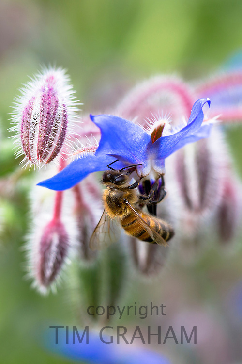Honey bee, Apis, gathering nectar from Blue Borage, Borago officinalis, in organic garden in England