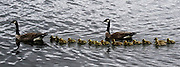 Sticking close, a gaggle of Canada geese — 15 are offspring — head north on Lake Washington near Seward Park recently. The geese, generally partial to fresh water, have become very successful urban dwellers. (Alan Berner/The Seattle Times)