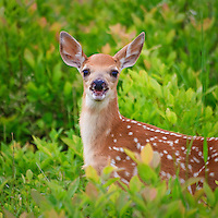 A young white-tailed deer fawn (Odocoileus virginianus) looks on in surpirse after almost running into the back of the photographer, Big Meadows, Shenandoah National Park, Virginia.