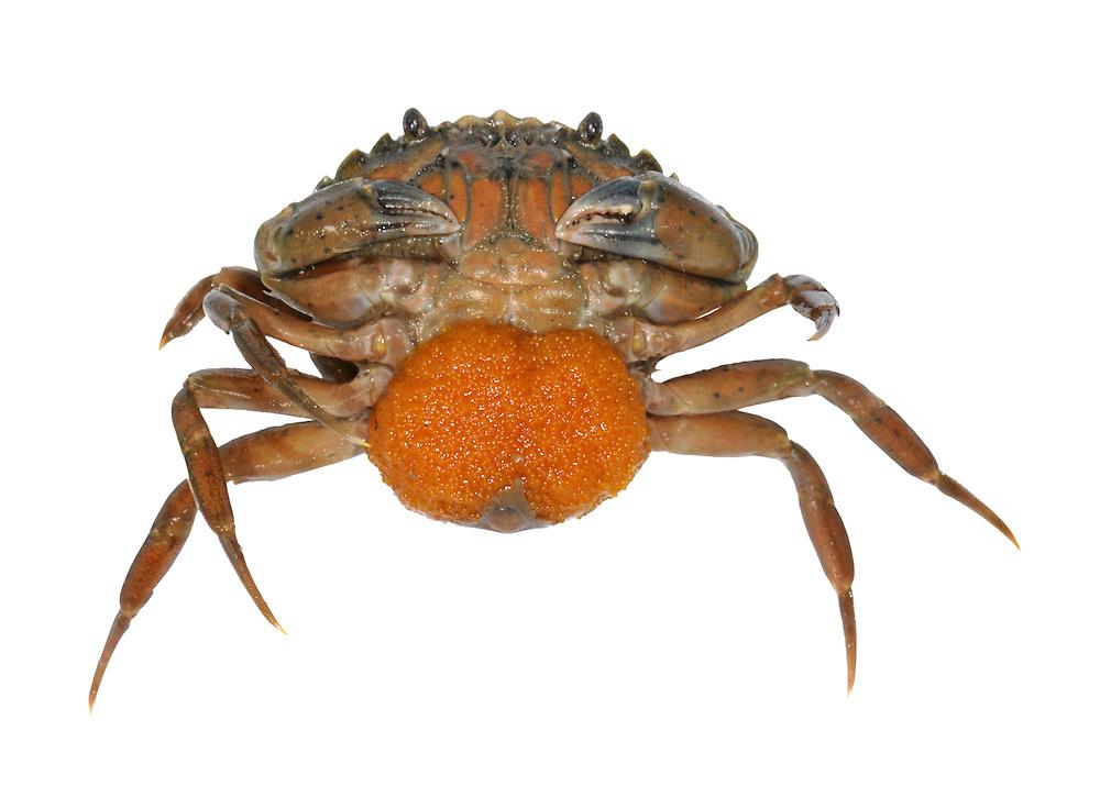 Green Shore Crab - Carcinus maenas - female with eggs
