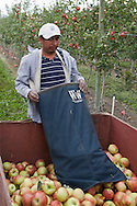 Photo Randy Vanderveen.Osoyoos, BC.Lucas Ahuelican Hernandez, a picker, harvests honey crisp apples on the Bassi Farms orchards in the South Okanagan Valley of BC.