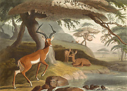 Pallah the impala (Aepyceros melampus), large South African antelope. hand colored plate from the collection of  ' African scenery and animals ' by Daniell, Samuel, 1775-1811 and Daniell, William, 1769-1837 published 1804