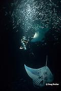 Douglas Seifert photographs reef manta rays, Manta alfredi, feeding on plankton attracted by lights placed by divers at night among Hawaiian flagtail or aholehole, Kuhlia xenura ( endemic species), schooling in Makako Bay, Keahole, Kona, Hawaii Island ( the Big Island ), Hawaii, U.S.A. ( Central Pacific Ocean ) MR 474